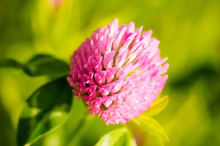 Red clover genome to help restore sustainable farming