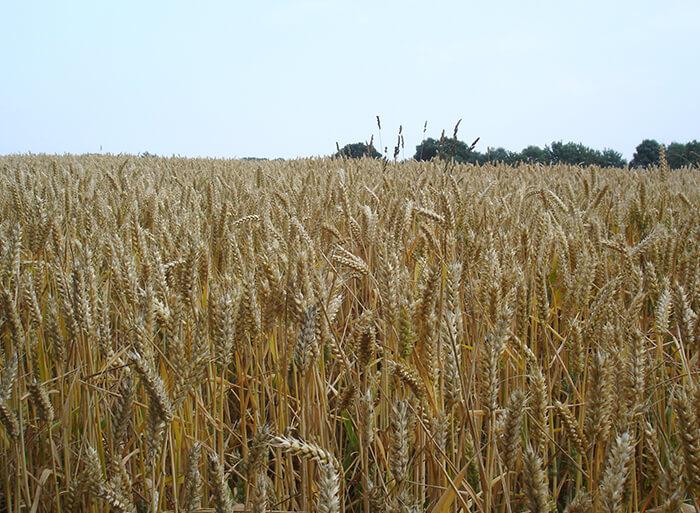 Sat nav for bread wheat uncovers hidden genes