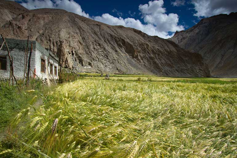 Scientists issue rallying cry for wheat blast research