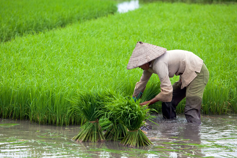 EI trains the next generation of rice breeders in Vietnam