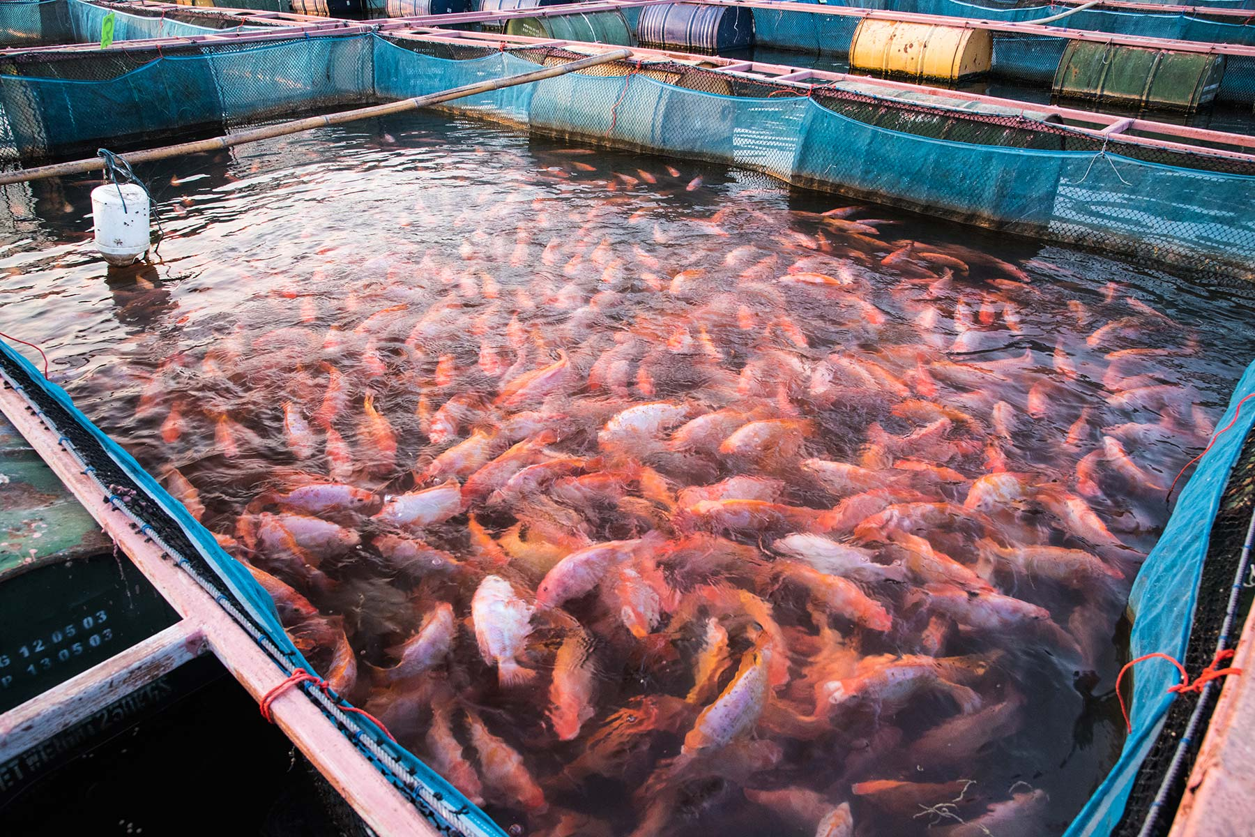tilapia farming business plan Tilapia fish farming is a very lucrative business providing income for millions of people in the world tilapia farming business is a very profitable.