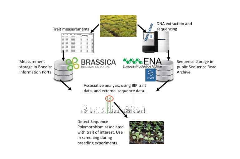 Brassica Information Portal technical details diagram