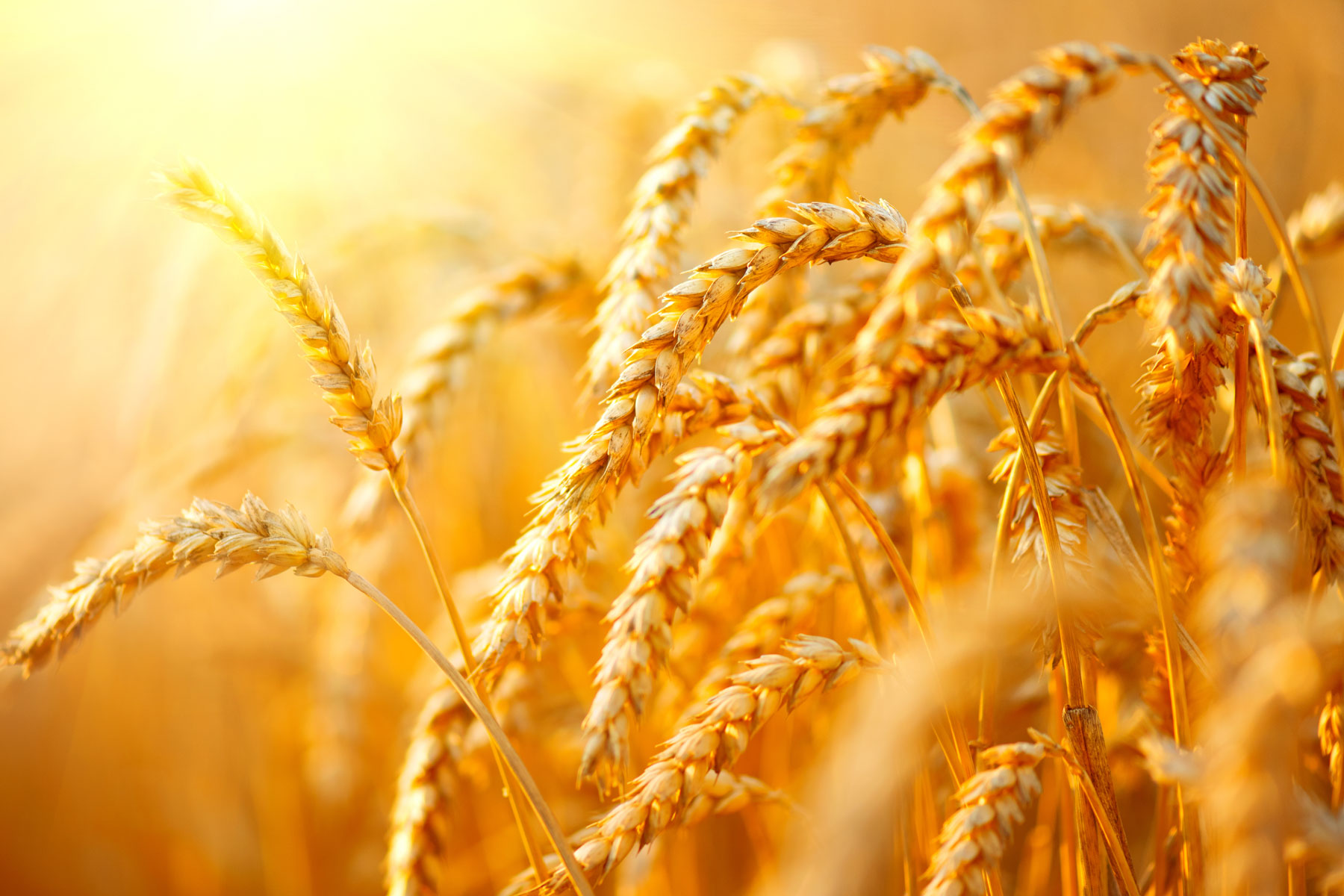 Improving photosynthesis to increase wheat yield