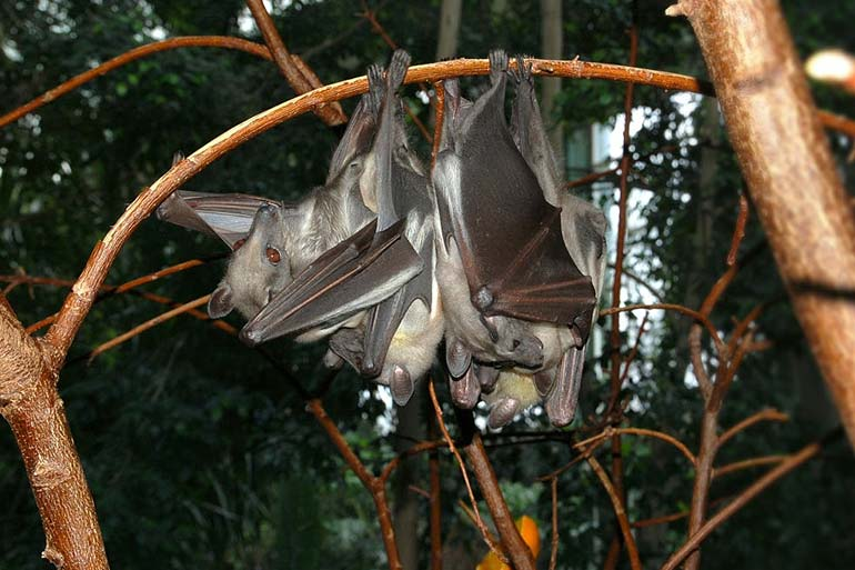 Straw-coloured fruit bat