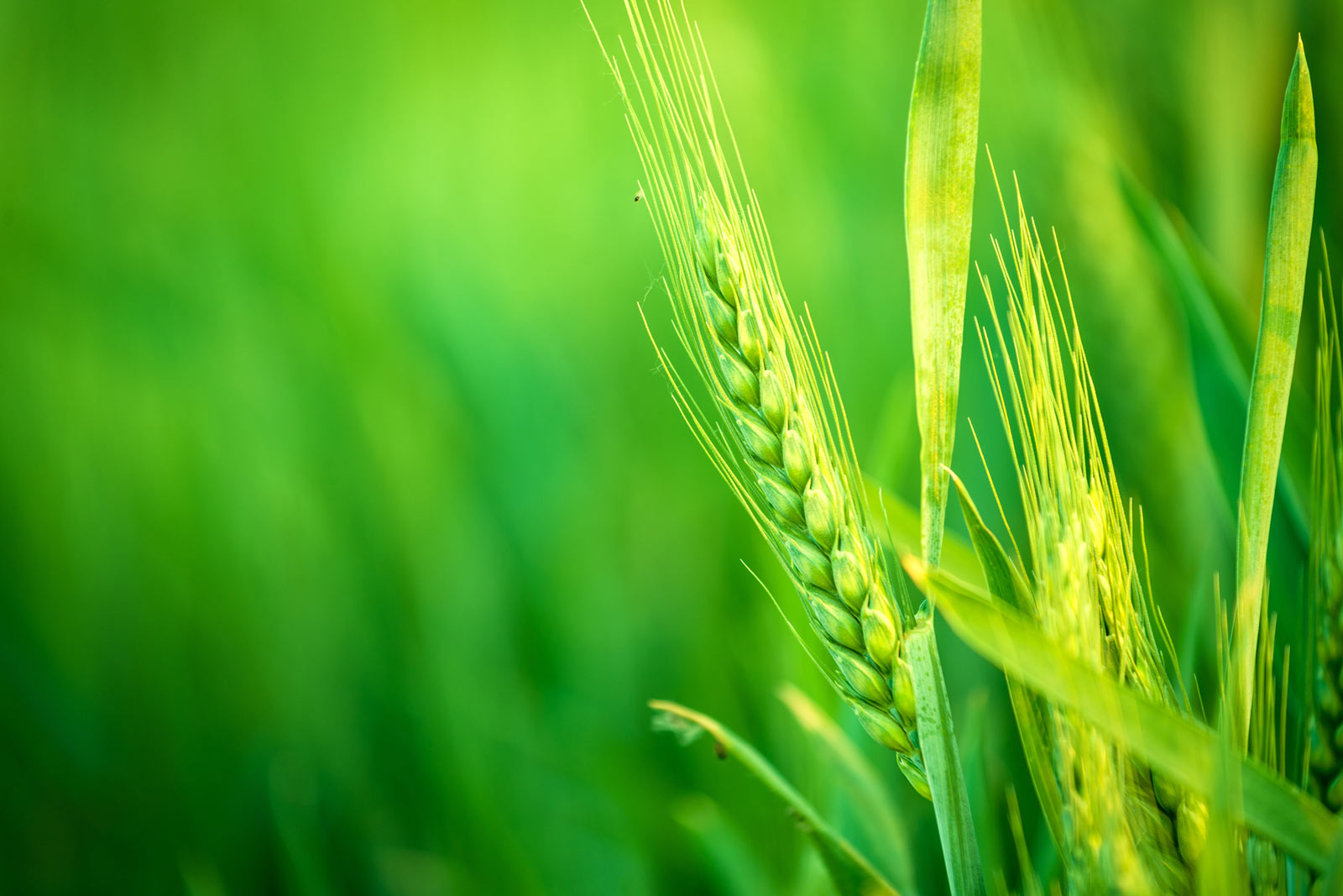 Sequencing the wheat genome
