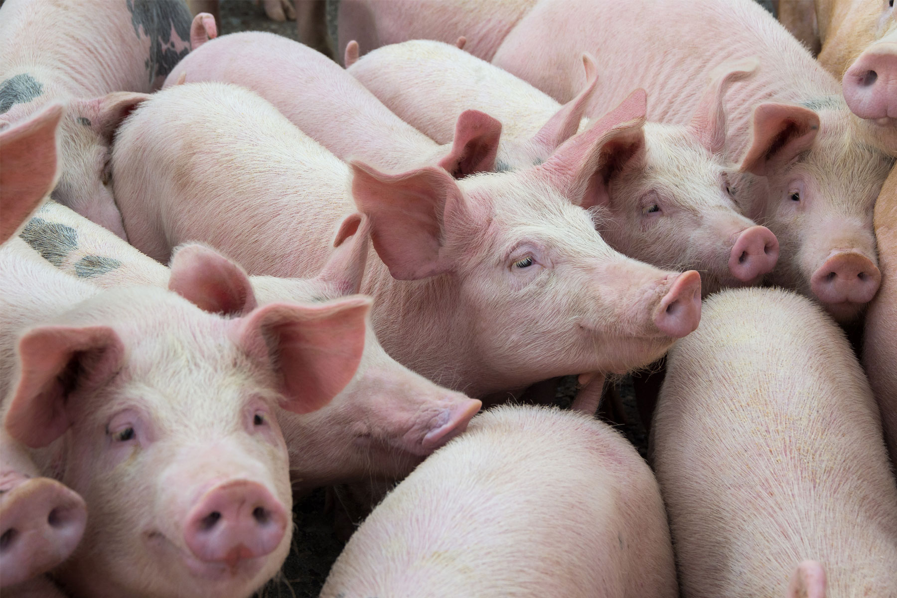The Nature of Swine Flu Infection Between Pigs
