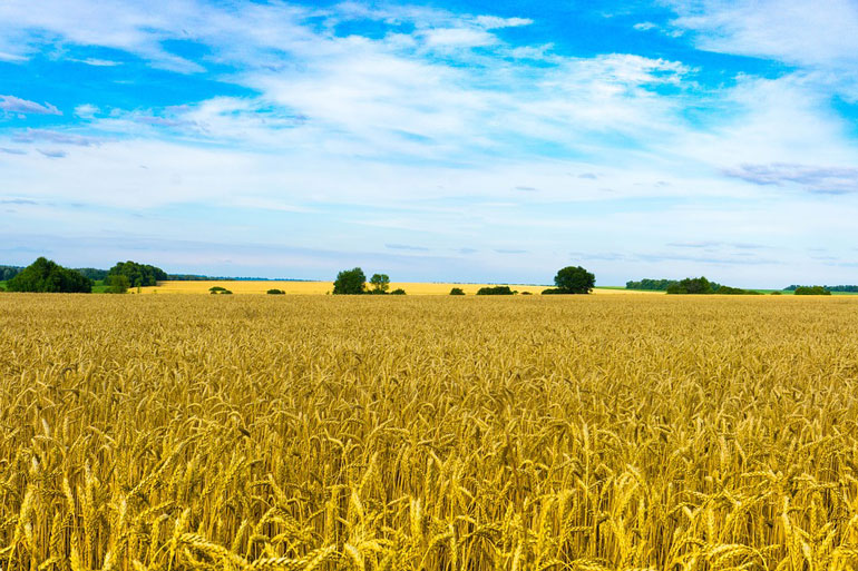 Earlham Institute helps to finally crack the wheat code